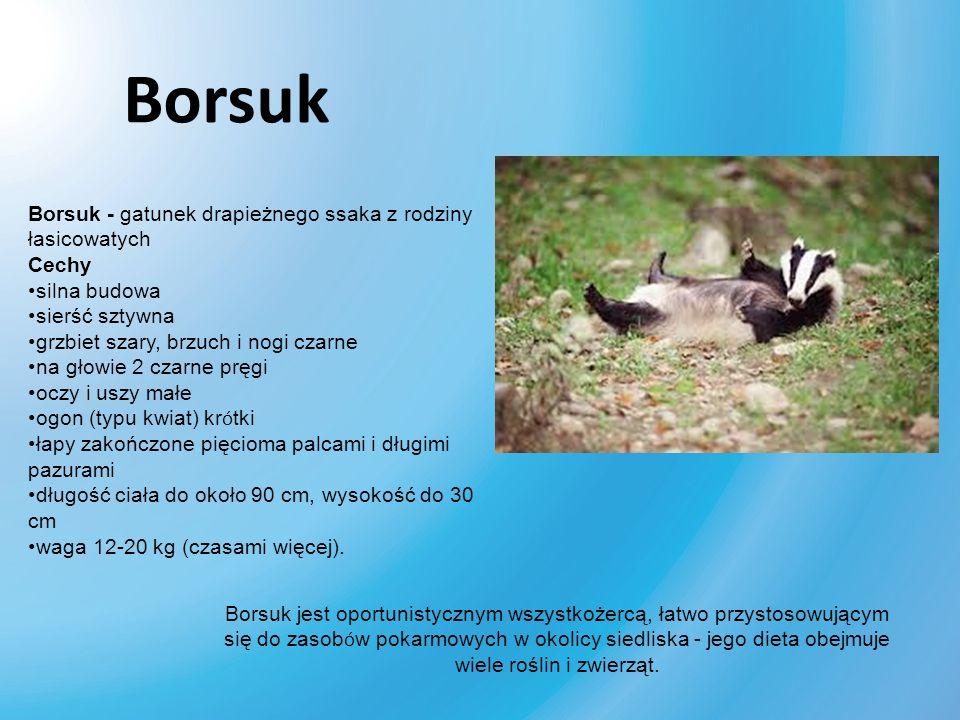 Borsuk Borsuk - gatunek drapieżnego ssaka z rodziny łasicowatych Cechy silna budowa sierść sztywna grzbiet szary, brzuch i nogi czarne na głowie 2 cza