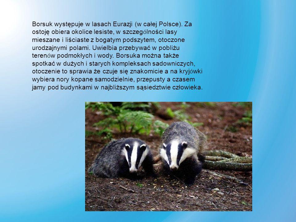 Borsuk występuje w lasach Eurazji (w całej Polsce). Za ostoję obiera okolice lesiste, w szczeg ó lności lasy mieszane i liściaste z bogatym podszytem,