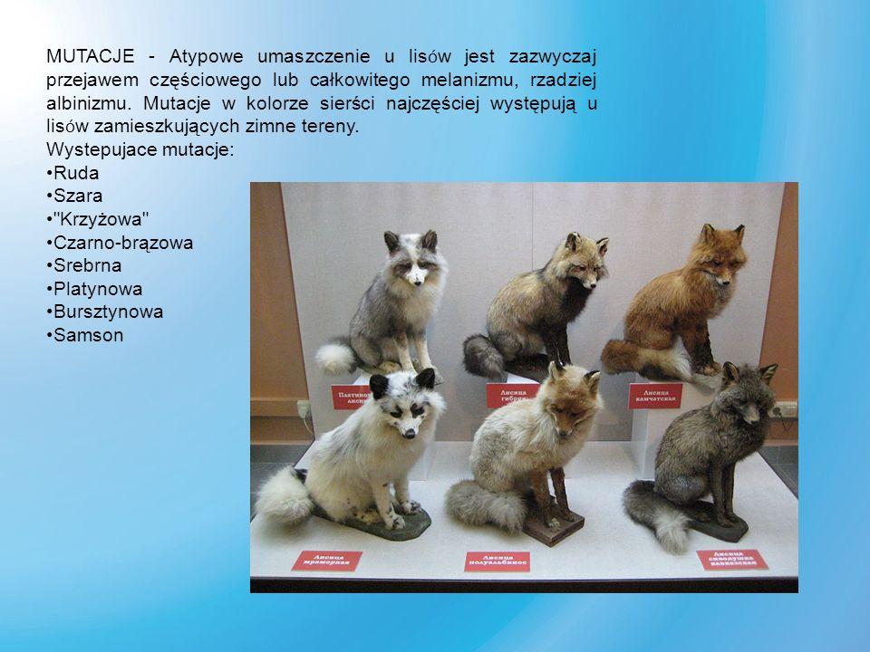 Dingo – przedstawiciel rodziny psowatych, zamieszkuje Australię, Nową Gwineę, a ostatnio stwierdzono, że najprawdopodobniej należą do tego podgatunku r ó wnież dzikie psy z obszaru Azji Południowo-Wschodniej i Filipin.