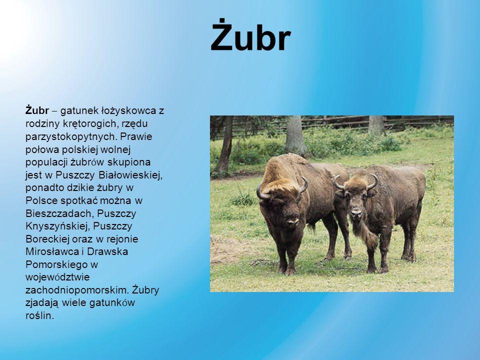Żubr – gatunek łożyskowca z rodziny krętorogich, rzędu parzystokopytnych. Prawie połowa polskiej wolnej populacji żubr ó w skupiona jest w Puszczy Bia