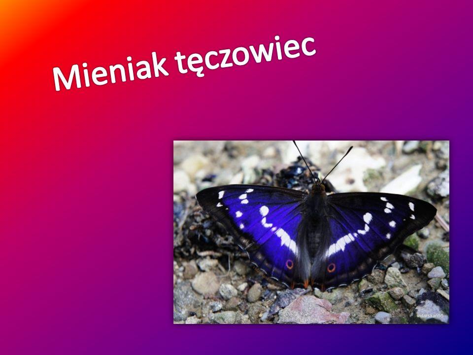 Rozpiętość skrzydeł tego motyla wynosi około 75 mm.