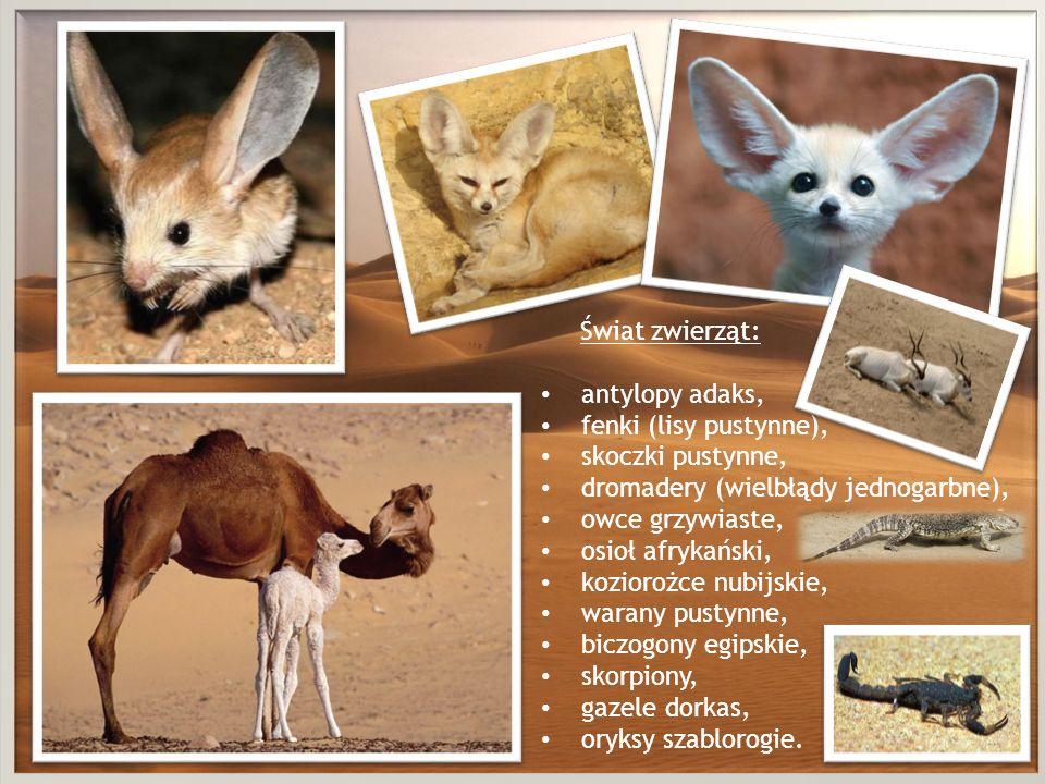 Świat zwierząt: antylopy adaks, fenki (lisy pustynne), skoczki pustynne, dromadery (wielbłądy jednogarbne), owce grzywiaste, osioł afrykański, kozioro