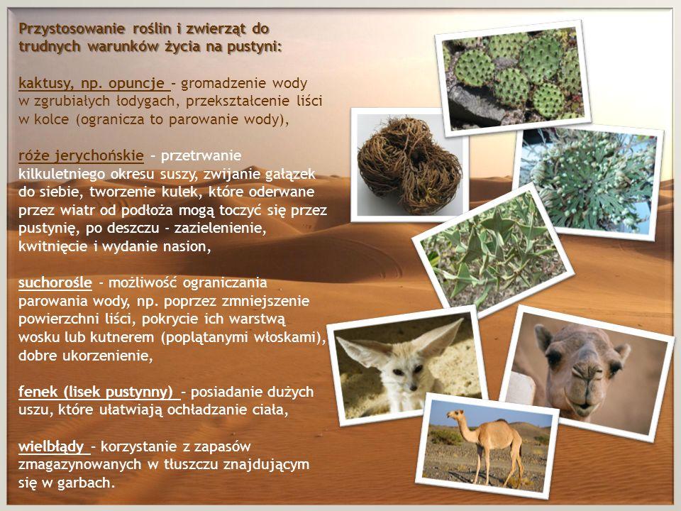Przystosowanie roślin i zwierząt do trudnych warunków życia na pustyni: Przystosowanie roślin i zwierząt do trudnych warunków życia na pustyni: kaktus