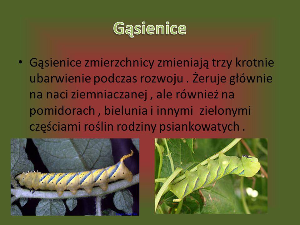 Gąsienice zmierzchnicy zmieniają trzy krotnie ubarwienie podczas rozwoju. Żeruje głównie na naci ziemniaczanej, ale również na pomidorach, bielunia i