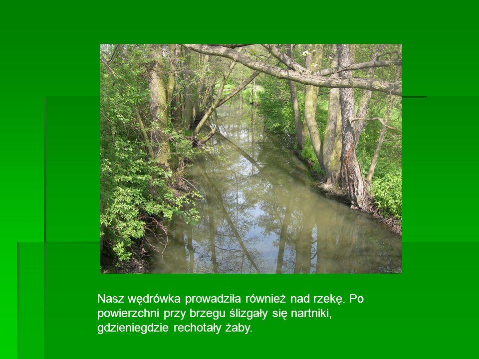 Nasz wędrówka prowadziła również nad rzekę. Po powierzchni przy brzegu ślizgały się nartniki, gdzieniegdzie rechotały żaby.