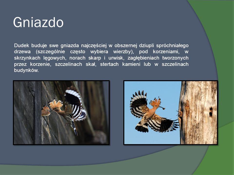Gniazdo Dudek buduje swe gniazda najczęściej w obszernej dziupli spróchniałego drzewa (szczególnie często wybiera wierzby), pod korzeniami, w skrzynka