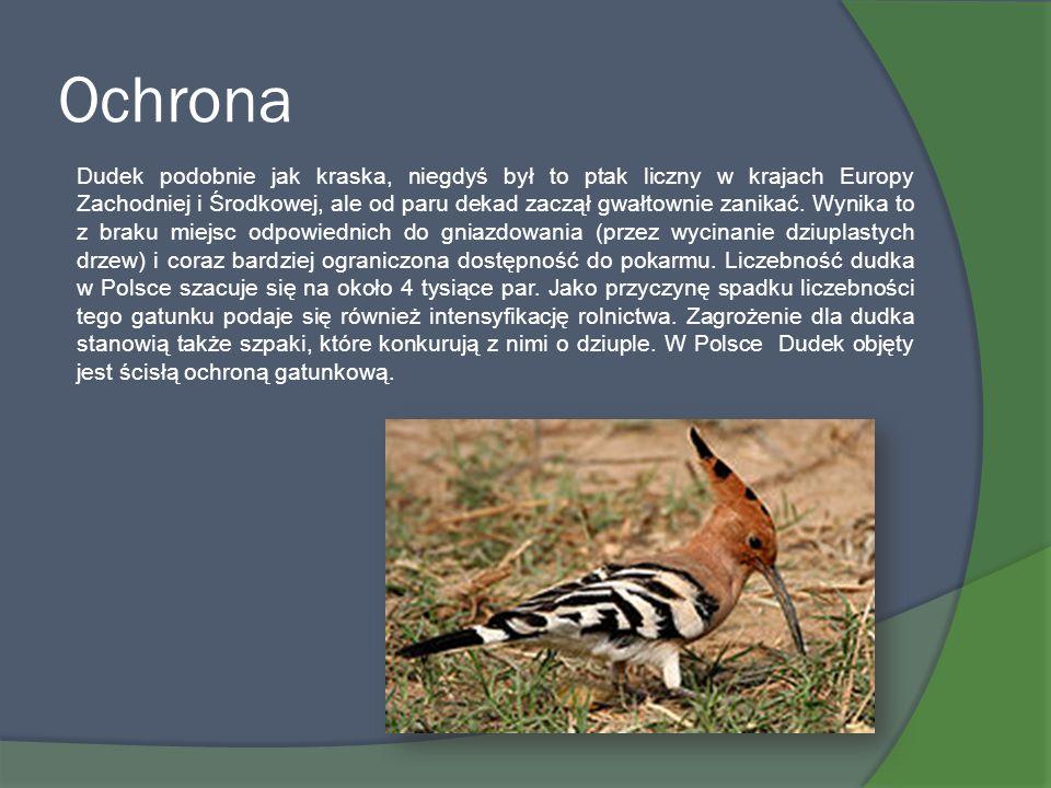 Ochrona Dudek podobnie jak kraska, niegdyś był to ptak liczny w krajach Europy Zachodniej i Środkowej, ale od paru dekad zaczął gwałtownie zanikać. Wy