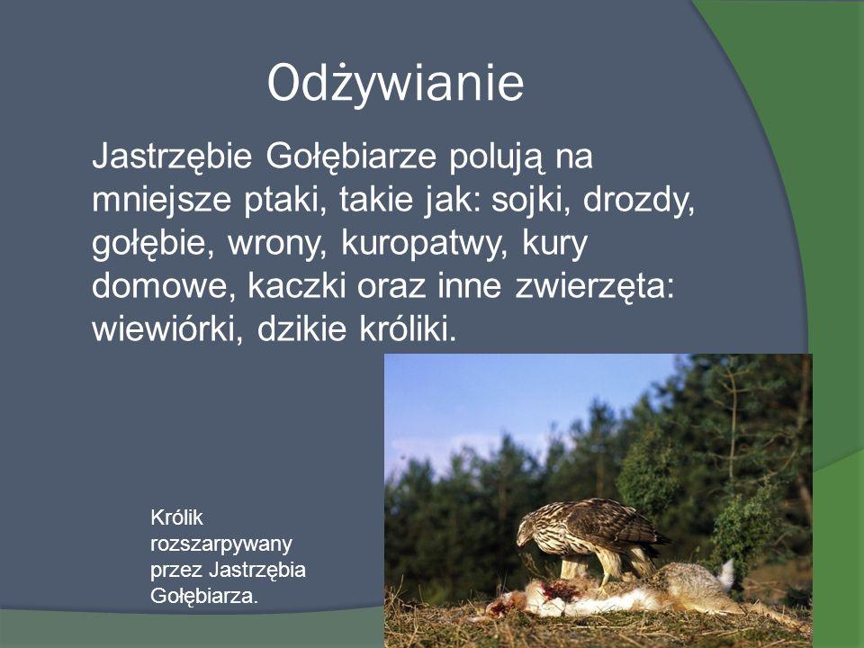 Odżywianie Jastrzębie Gołębiarze polują na mniejsze ptaki, takie jak: sojki, drozdy, gołębie, wrony, kuropatwy, kury domowe, kaczki oraz inne zwierzęt