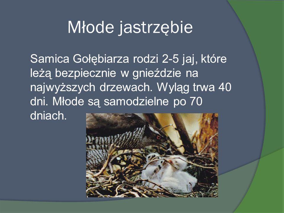 Młode jastrzębie Samica Gołębiarza rodzi 2-5 jaj, które leżą bezpiecznie w gnieździe na najwyższych drzewach. Wyląg trwa 40 dni. Młode są samodzielne