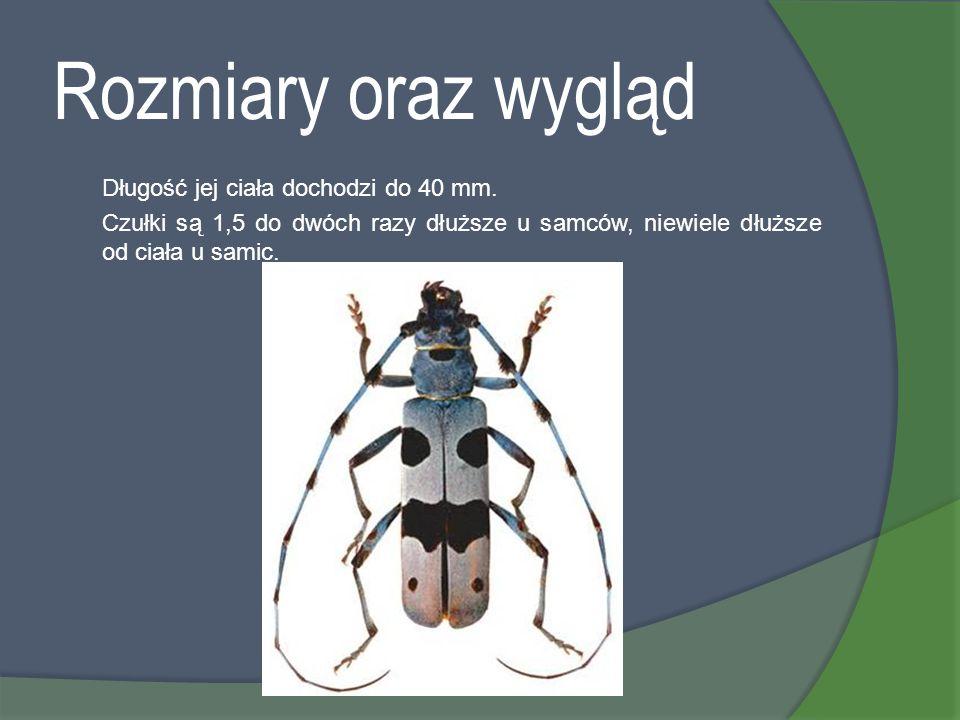 Rozmiary oraz wygląd Długość jej ciała dochodzi do 40 mm. Czułki są 1,5 do dwóch razy dłuższe u samców, niewiele dłuższe od ciała u samic.