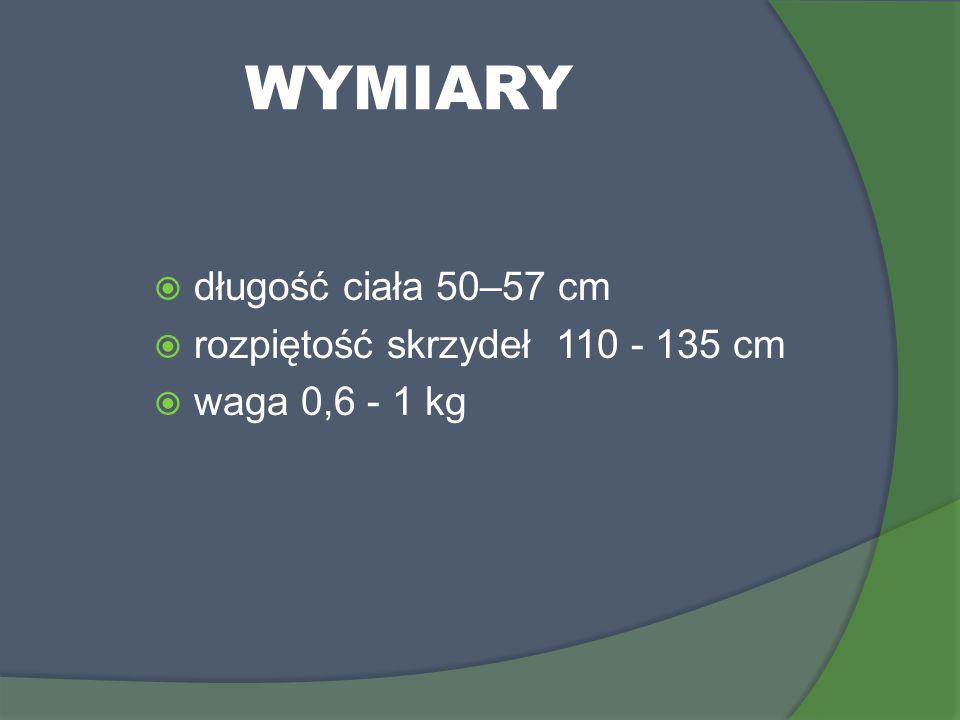 WYMIARY długość ciała 50–57 cm rozpiętość skrzydeł 110 - 135 cm waga 0,6 - 1 kg