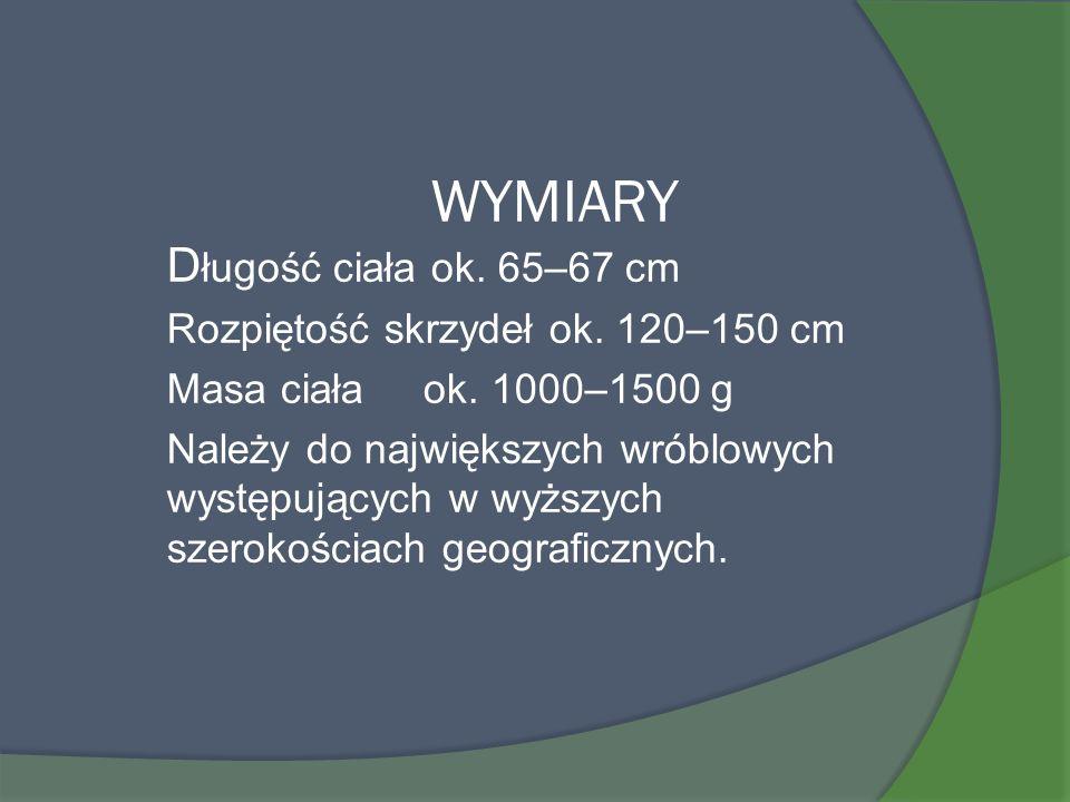 WYMIARY D ługość ciała ok. 65–67 cm Rozpiętość skrzydeł ok. 120–150 cm Masa ciała ok. 1000–1500 g Należy do największych wróblowych występujących w wy