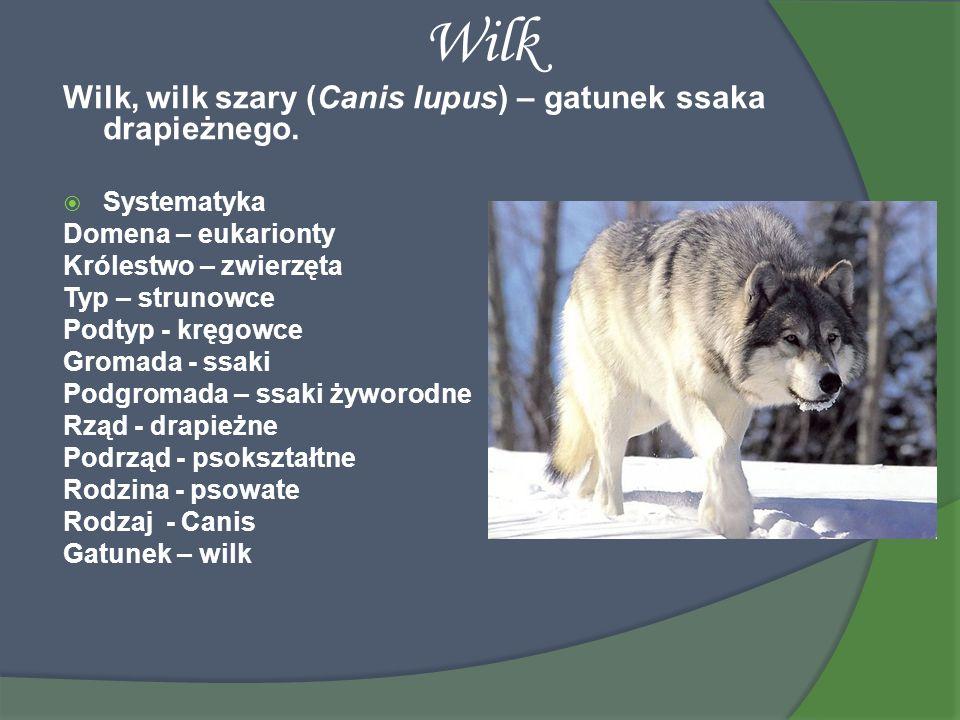 Wilk Wilk, wilk szary (Canis lupus) – gatunek ssaka drapieżnego. Systematyka Domena – eukarionty Królestwo – zwierzęta Typ – strunowce Podtyp - kręgow
