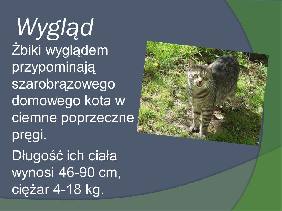Wygląd Żbiki wyglądem przypominają szarobrązowego domowego kota w ciemne poprzeczne pręgi. Długość ich ciała wynosi 46-90 cm, ciężar 4-18 kg.