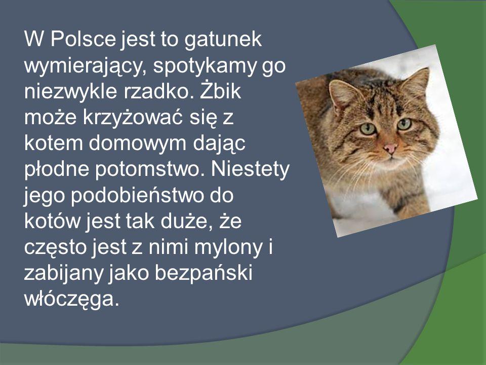 W Polsce jest to gatunek wymierający, spotykamy go niezwykle rzadko. Żbik może krzyżować się z kotem domowym dając płodne potomstwo. Niestety jego pod