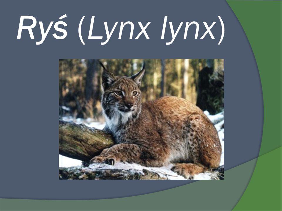 Ryś (Lynx lynx)
