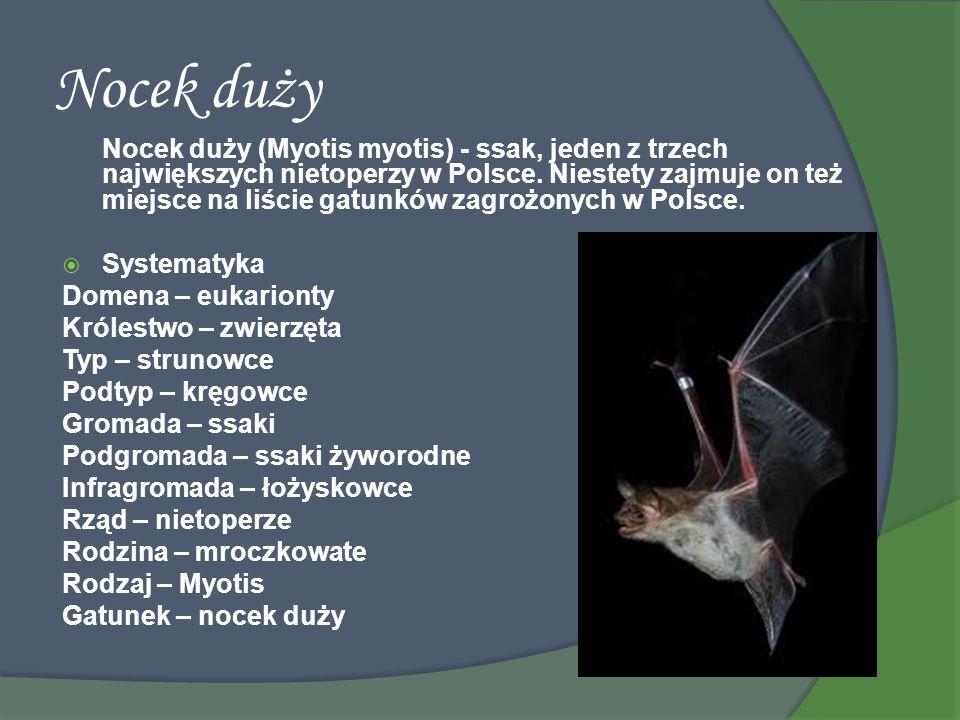 Nocek duży Nocek duży (Myotis myotis) - ssak, jeden z trzech największych nietoperzy w Polsce. Niestety zajmuje on też miejsce na liście gatunków zagr