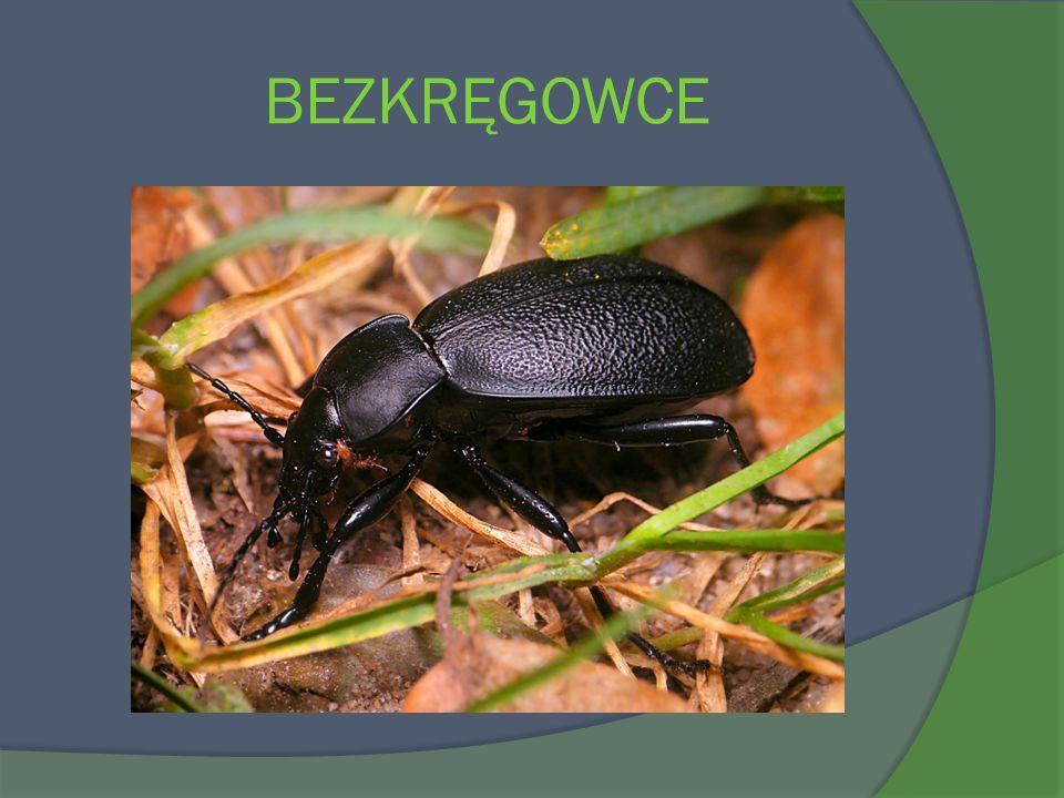 Wygląd Derkacz to jeden z rzadszych gatunków ptaków gniazdujących w Polsce.