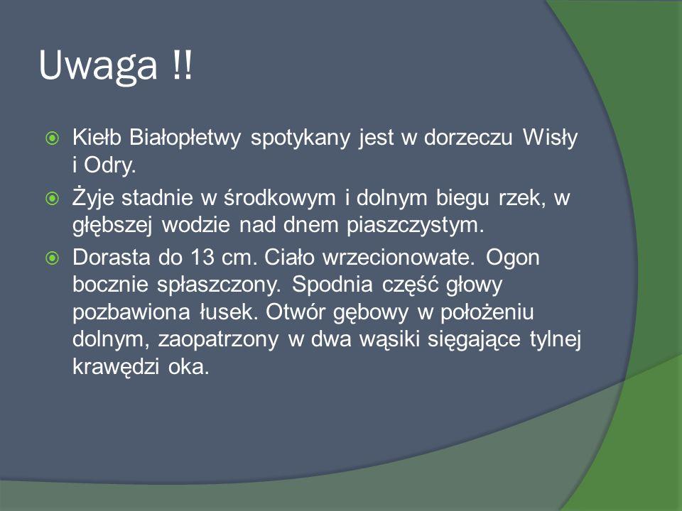 Uwaga !! Kiełb Białopłetwy spotykany jest w dorzeczu Wisły i Odry. Żyje stadnie w środkowym i dolnym biegu rzek, w głębszej wodzie nad dnem piaszczyst