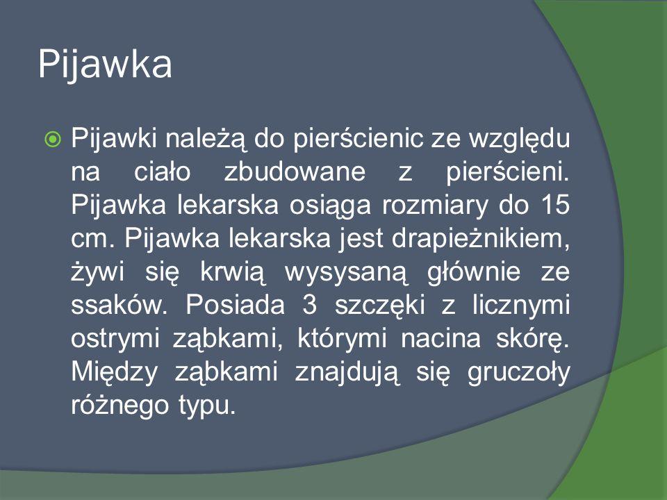 Pijawka Pijawki należą do pierścienic ze względu na ciało zbudowane z pierścieni. Pijawka lekarska osiąga rozmiary do 15 cm. Pijawka lekarska jest dra