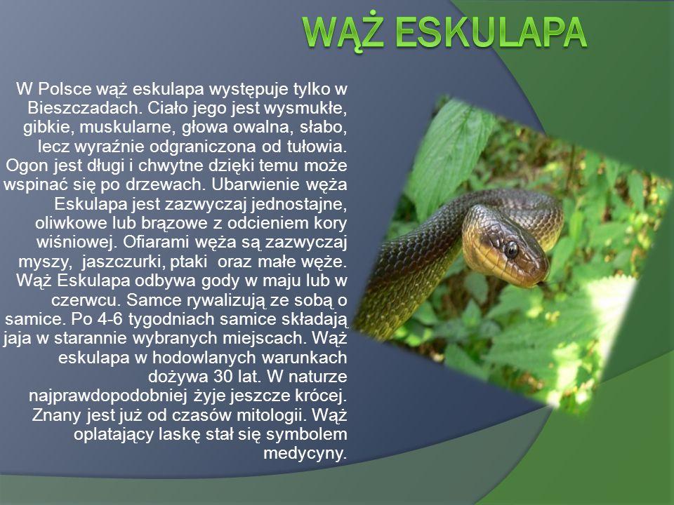 W Polsce wąż eskulapa występuje tylko w Bieszczadach. Ciało jego jest wysmukłe, gibkie, muskularne, głowa owalna, słabo, lecz wyraźnie odgraniczona od