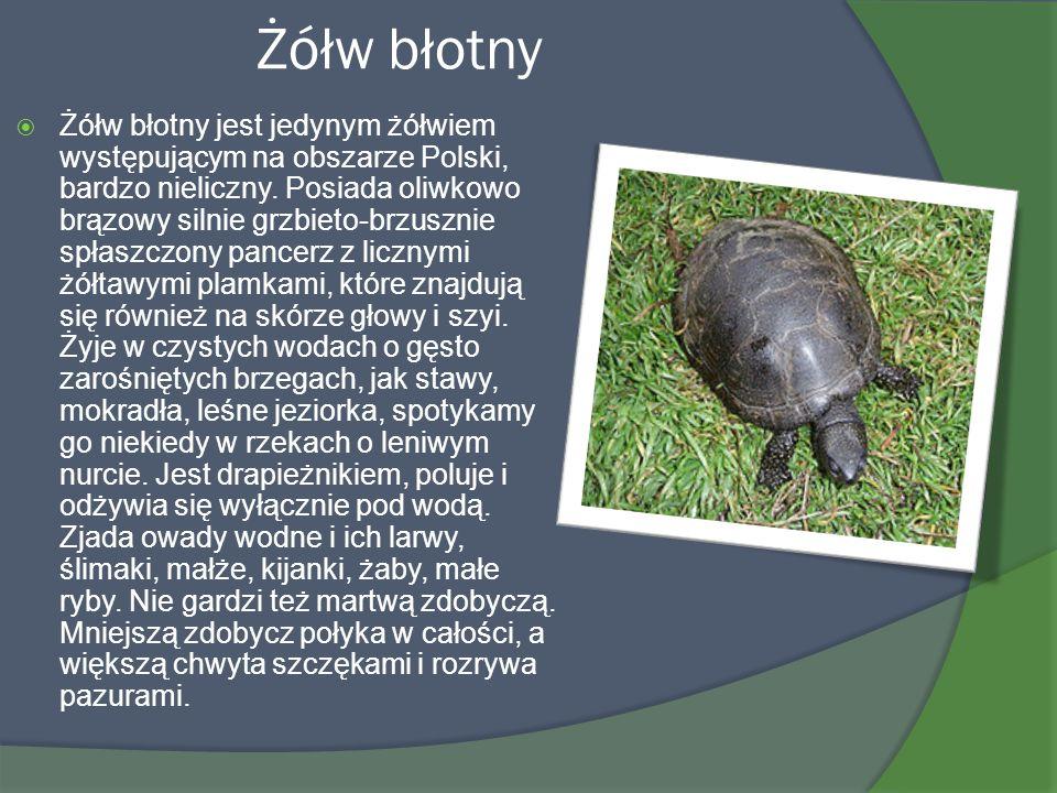 Żółw błotny Żółw błotny jest jedynym żółwiem występującym na obszarze Polski, bardzo nieliczny. Posiada oliwkowo brązowy silnie grzbieto-brzusznie spł