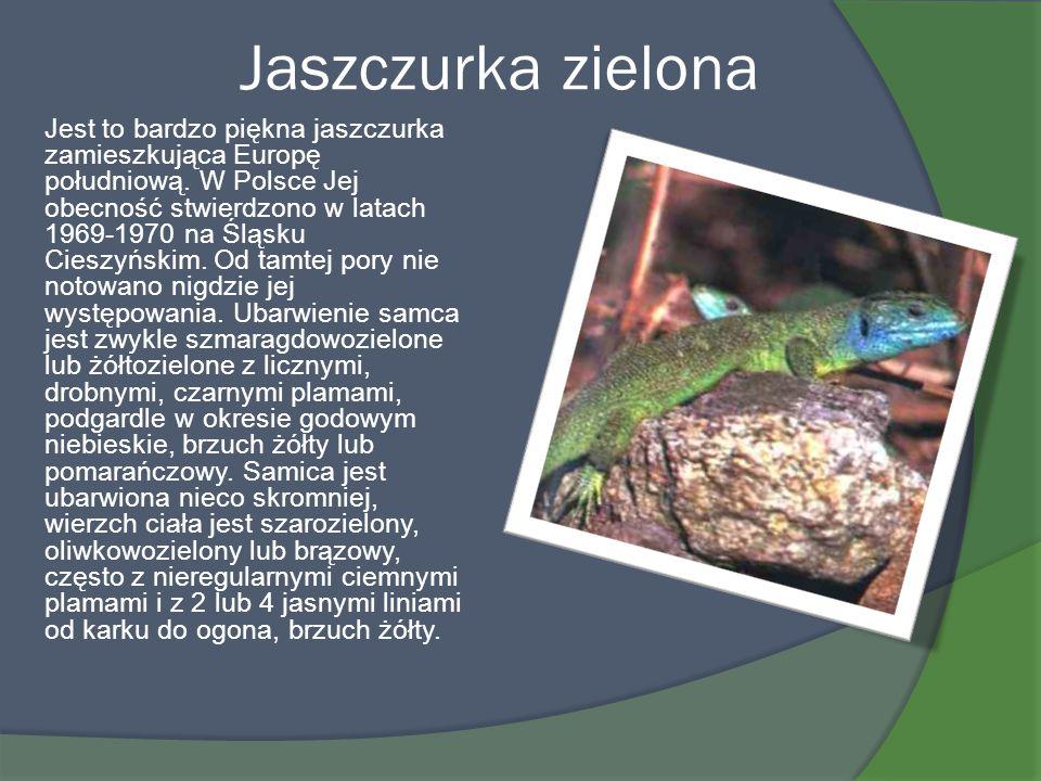 Jaszczurka zielona Jest to bardzo piękna jaszczurka zamieszkująca Europę południową. W Polsce Jej obecność stwierdzono w latach 1969-1970 na Śląsku Ci