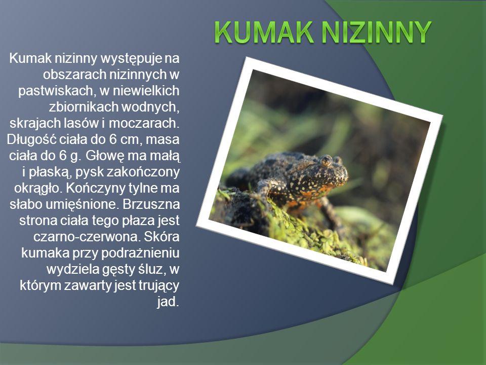 Kumak nizinny występuje na obszarach nizinnych w pastwiskach, w niewielkich zbiornikach wodnych, skrajach lasów i moczarach. Długość ciała do 6 cm, ma