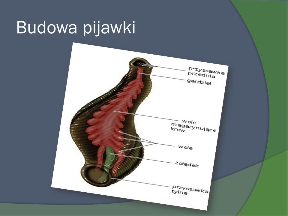 Wielkość Wielkość ciała wynosi 58-66 cm.Rozpiętość skrzydeł 96-120 cm.