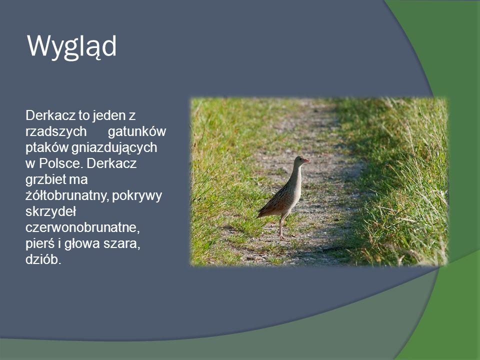 Wygląd Derkacz to jeden z rzadszych gatunków ptaków gniazdujących w Polsce. Derkacz grzbiet ma żółtobrunatny, pokrywy skrzydeł czerwonobrunatne, pierś