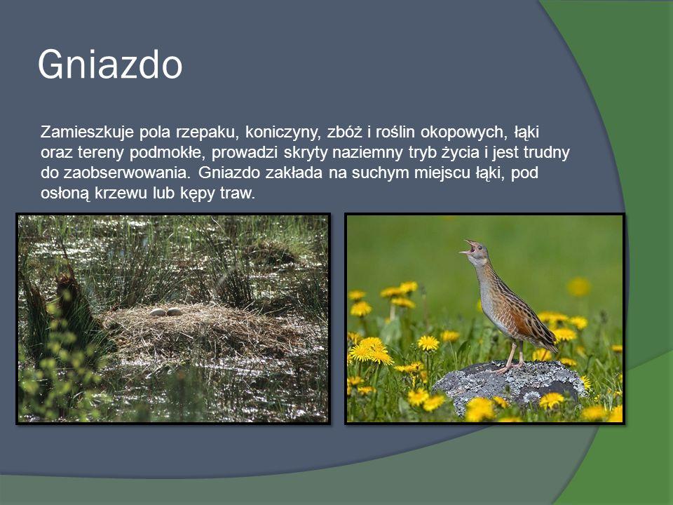 Gniazdo Zamieszkuje pola rzepaku, koniczyny, zbóż i roślin okopowych, łąki oraz tereny podmokłe, prowadzi skryty naziemny tryb życia i jest trudny do