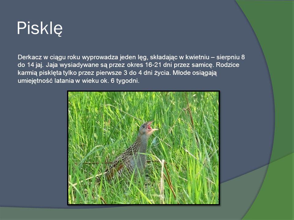 Pisklę Derkacz w ciągu roku wyprowadza jeden lęg, składając w kwietniu – sierpniu 8 do 14 jaj. Jaja wysiadywane są przez okres 16-21 dni przez samicę.