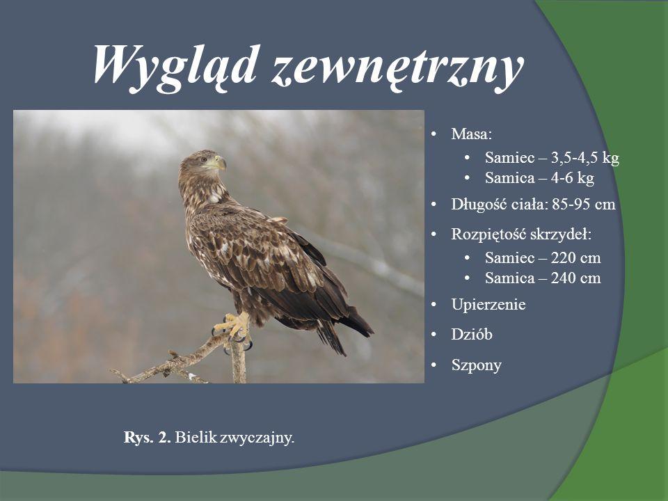 Wygląd zewnętrzny Masa: Samiec – 3,5-4,5 kg Samica – 4-6 kg Długość ciała: 85-95 cm Rozpiętość skrzydeł: Samiec – 220 cm Samica – 240 cm Upierzenie Dz