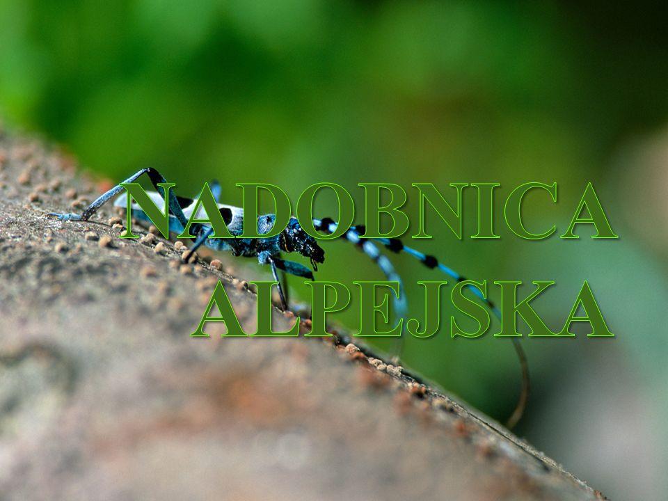 Głowotułów pokryty jest srebrzystymi włoskami, co dodatkowo powinno wpływać na piękno tego pająka, w rzeczywistości jednak, przyćmiewa go ogromny, żółto-biały odwłok po przecinany poziomymi, czarnymi pasami.