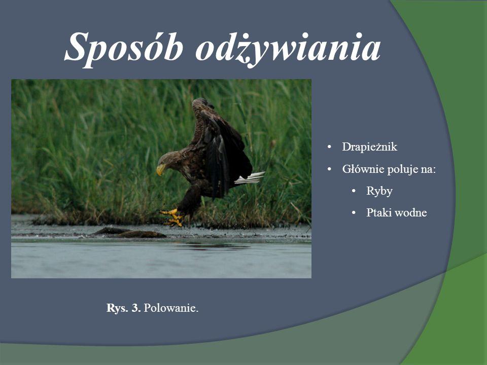 Sposób odżywiania Drapieżnik Głównie poluje na: Ryby Ptaki wodne Rys. 3. Polowanie.