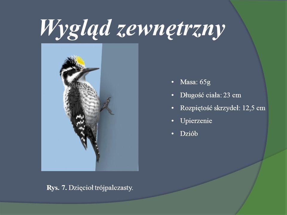 Wygląd zewnętrzny Masa: 65g Długość ciała: 23 cm Rozpiętość skrzydeł: 12,5 cm Upierzenie Dziób Rys. 7. Dzięcioł trójpalczasty.