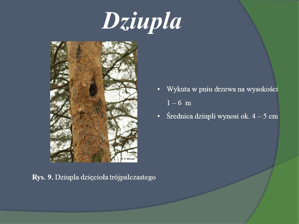 Dziupla Rys. 9. Dziupla dzięcioła trójpalczastego Wykuta w pniu drzewa na wysokości 1 – 6 m Średnica dziupli wynosi ok. 4 – 5 cm
