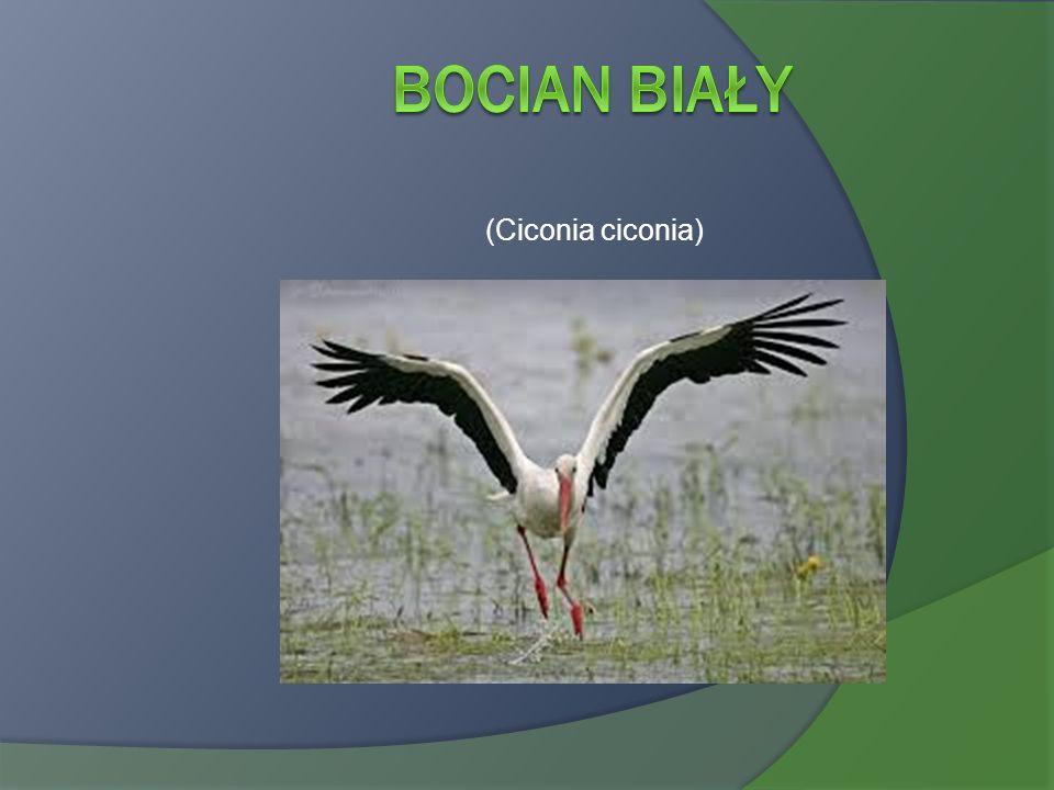 (Ciconia ciconia)