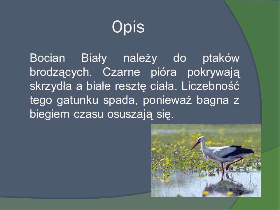 Opis Bocian Biały należy do ptaków brodzących. Czarne pióra pokrywają skrzydła a białe resztę ciała. Liczebność tego gatunku spada, ponieważ bagna z b
