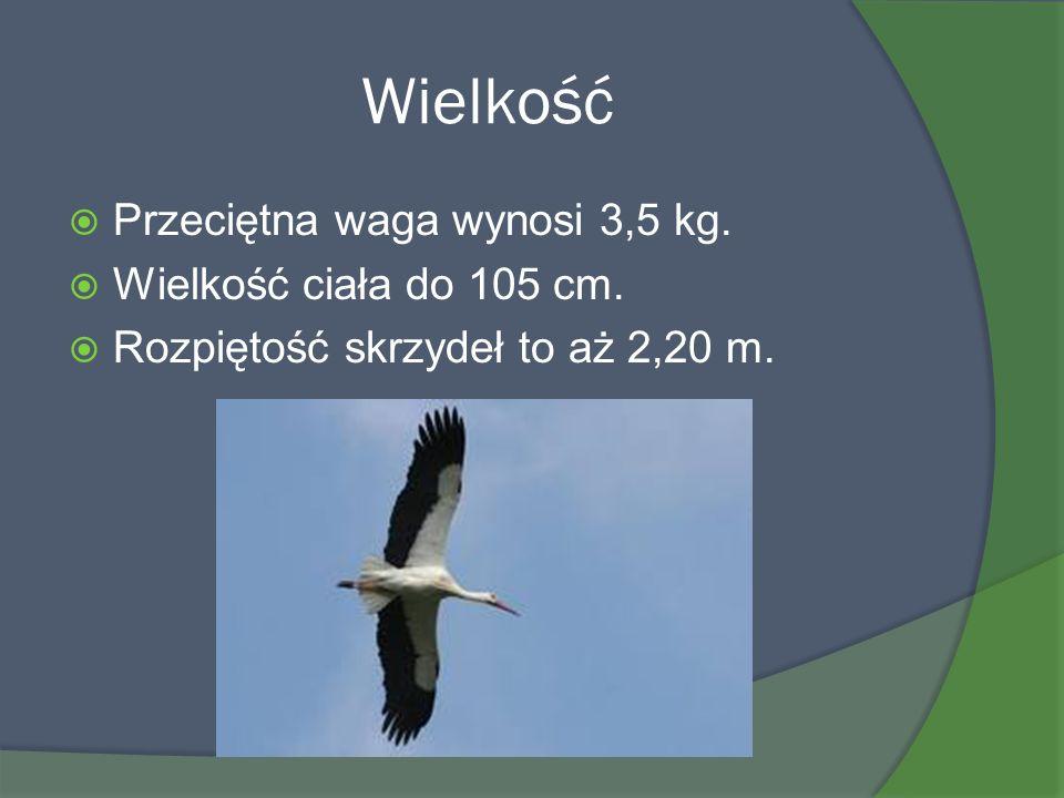 Wielkość Przeciętna waga wynosi 3,5 kg. Wielkość ciała do 105 cm. Rozpiętość skrzydeł to aż 2,20 m.
