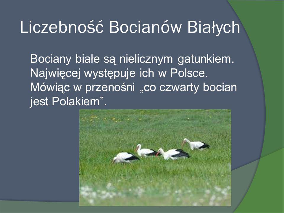 Liczebność Bocianów Białych Bociany białe są nielicznym gatunkiem. Najwięcej występuje ich w Polsce. Mówiąc w przenośni co czwarty bocian jest Polakie