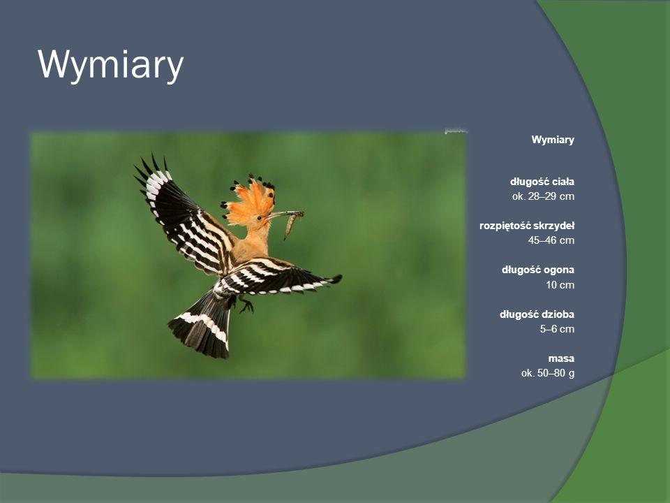 Wymiary długość ciała ok. 28–29 cm rozpiętość skrzydeł 45–46 cm długość ogona 10 cm długość dzioba 5–6 cm masa ok. 50–80 g