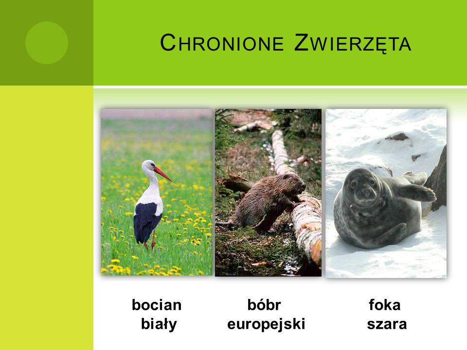 C HRONIONE Z WIERZĘTA bocian biały bóbr europejski foka szara