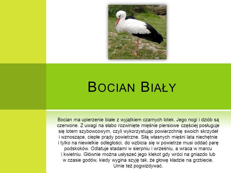 B OCIAN B IAŁY Bocian ma upierzenie białe z wyjątkiem czarnych lotek. Jego nogi i dziób są czerwone. Z uwagi na słabo rozwinięte mięśnie piersiowe czę