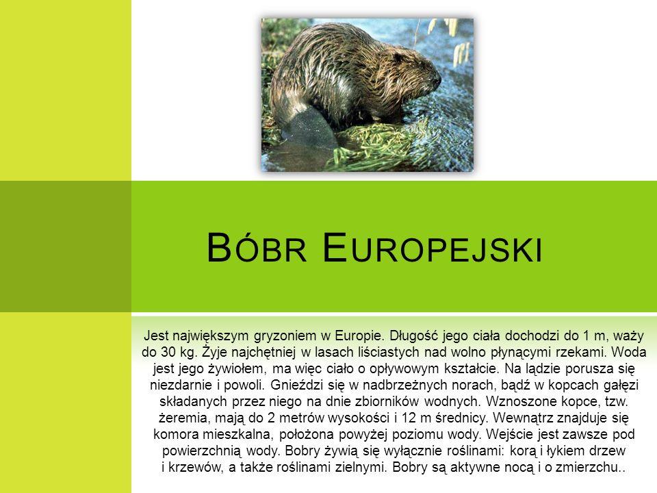 B ÓBR E UROPEJSKI Jest największym gryzoniem w Europie. Długość jego ciała dochodzi do 1 m, waży do 30 kg. Żyje najchętniej w lasach liściastych nad w