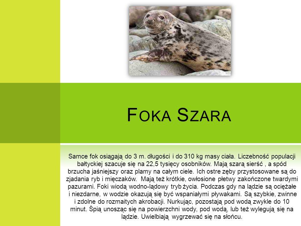 F OKA S ZARA Samce fok osiągają do 3 m. długości i do 310 kg masy ciała. Liczebność populacji bałtyckiej szacuje się na 22,5 tysięcy osobników. Mają s