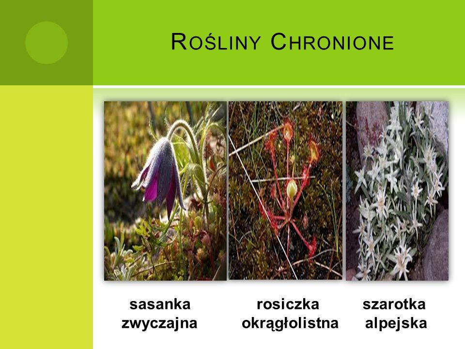 S ASANKA Z WYCZAJNA Jest to roślina z rodziny jaskrowatych.