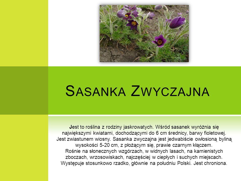 S ASANKA Z WYCZAJNA Jest to roślina z rodziny jaskrowatych. Wśród sasanek wyróżnia się największymi kwiatami, dochodzącymi do 6 cm średnicy, barwy fio