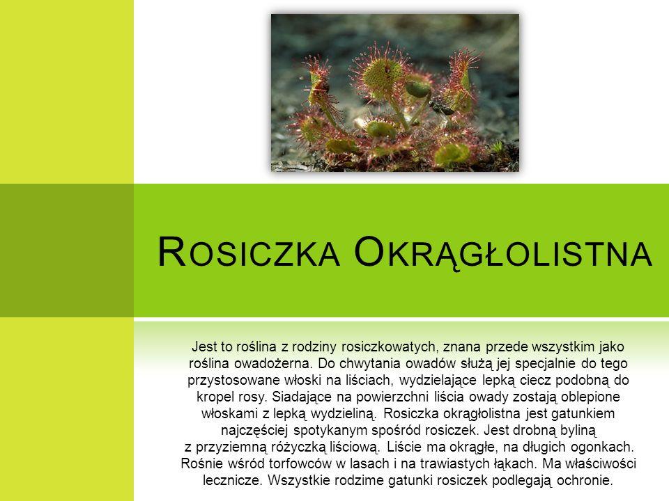 R OSICZKA O KRĄGŁOLISTNA Jest to roślina z rodziny rosiczkowatych, znana przede wszystkim jako roślina owadożerna. Do chwytania owadów służą jej specj