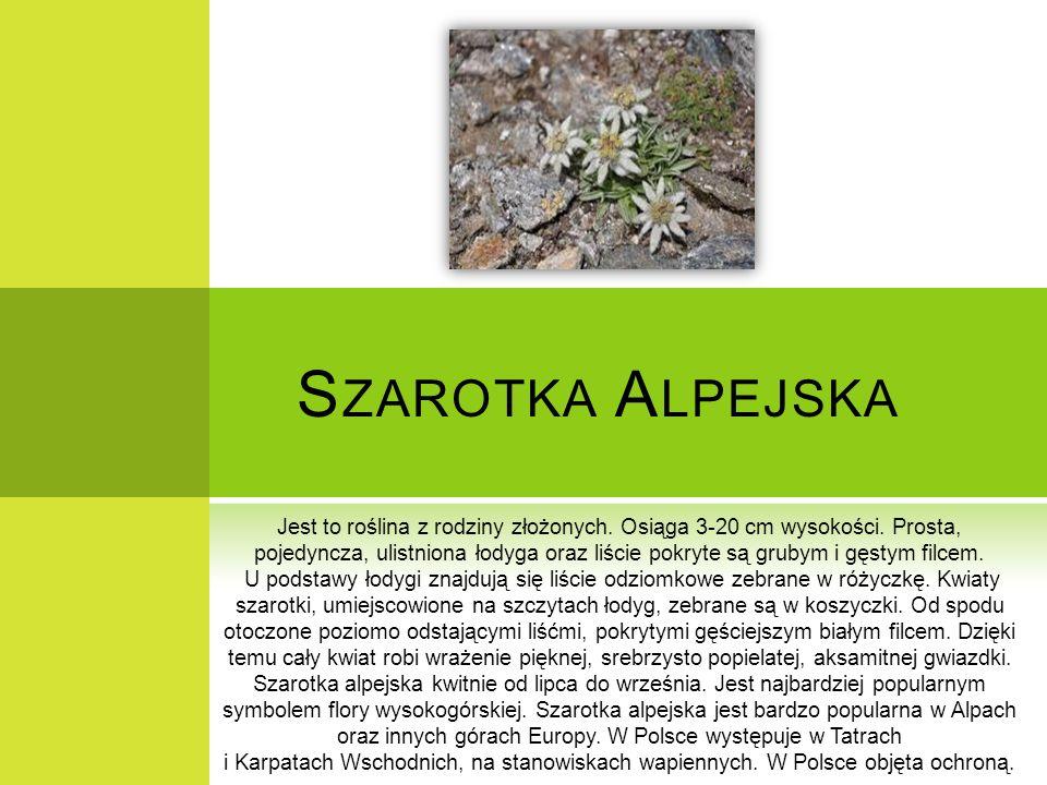 S ZAROTKA A LPEJSKA Jest to roślina z rodziny złożonych. Osiąga 3-20 cm wysokości. Prosta, pojedyncza, ulistniona łodyga oraz liście pokryte są grubym